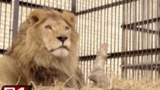 Rescatan leones que eran maltratados en circos del interior del Perú