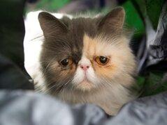 VIDEO: conoce a Pixie, la 'gata más triste del mundo'