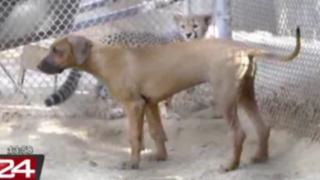 VIDEO: amistad entre un guepardo y un perro sorprende a visitantes de zoológico