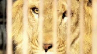 Leones rescatados de circos permanecen en cuarentena