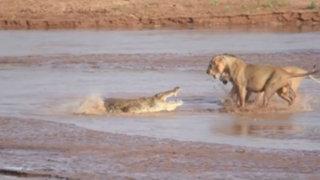 VIDEO: un cocodrilo y tres leones se enfrascan en un duelo mortal