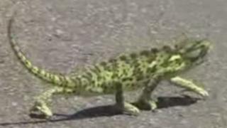 VIDEO: camaleón camina al ritmo de 50 Cent y se convierte en viral
