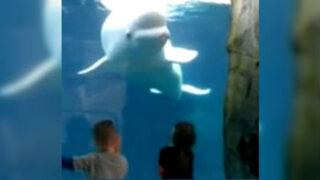 VIDEO: una beluga 'juega' a asustar a los niños en un acuario