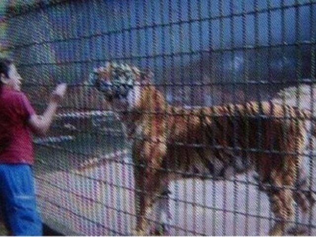 Brasil: padre de menor atacado por un tigre podría ir a la carcel