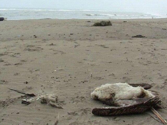 Lambayeque: más de 100 pelícanos y piqueros mueren en playa del Puerto Eten