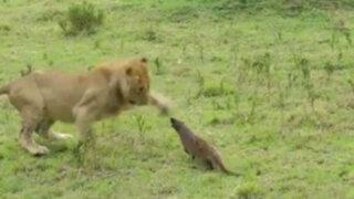 VIDEO: una mangosta lucha contra cuatro leones hambrientos