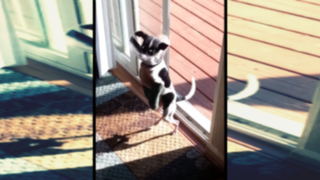 VIDEO: perrito cojo aprende a saltar la puerta como un canguro