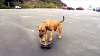 VIDEO: 'Bamboo' el perro skater que sorprende con su divertida habilidad