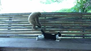 Gato Vs Mono: mira como este minino soporta travesuras de su compañero