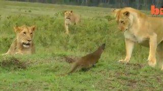 VIDEO: una pequeña mangosta se enfrenta a cuatro leones y evita ser atacada