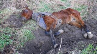 FOTOS: este caballo fue hallado moribundo, pero su recuperación es increíble