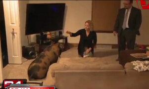 Insólito: familia lucha por la tenencia legal de un cerdo en Estados Unidos