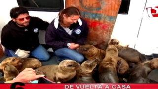 De vuelta a casa: la liberación de lobos marinos más grande de Sudamérica