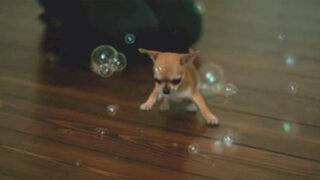 Mira las tiernas imágenes de una chihuahua peleando con burbujas de jabón