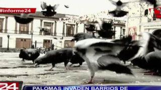 Informe 24: palomas invaden barrios de distritos limeños