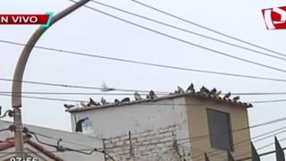Palomas un peligro para la salud: chalacos piden ayuda por proliferación de aves