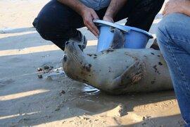 Pobladores hallaron una foca en el río Zarumilla en Tumbes