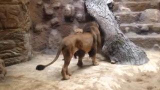 VIDEO: león ataca y mata a una leona frente a decenas de espectadores