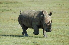 África: muere rinoceronte blanco y su especie queda al borde de la extinción