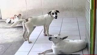 La Molina: vecina denuncia que perros del municipio atacaron y mataron a su gato