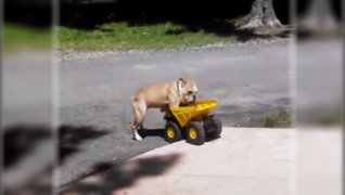 La locura de un perro por subir a un tractor de juguete es furor en la Web
