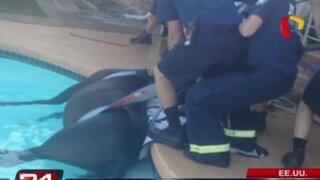 EEUU: caballo es rescatado tras caer a una piscina en Arizona