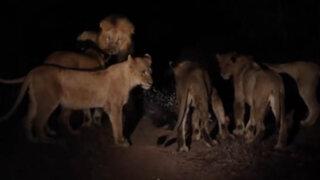 VIDEO: puercoespín se enfrentó a 17 leones que lo querían devorar y salió airoso