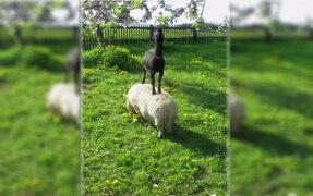 Mira como una cabra utiliza el lomo de un cerdo para alcanzar su comida