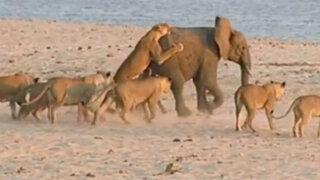 VIDEO: elefante logró sobrevivir al feroz ataque simultáneo de 14 leones