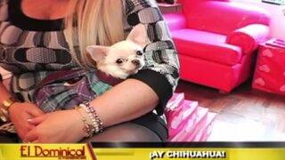Poder chihuahua: conozca mucho más a unas de las mascotas más populares