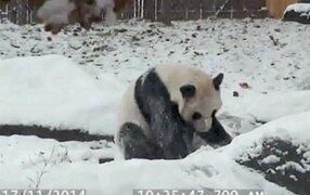 VIDEO: oso panda que juega y disfruta de la nieve conquista las redes