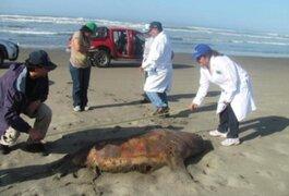 Hallan sin vida a 500 lobos marinos en playa de Áncash