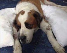 Los 'perros burrier': Bombón falleció y Lola aún lucha por su vida