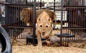 Leones rescatados de varios circos parten a Sudáfrica
