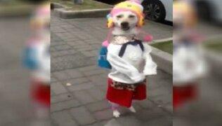 VIDEO: perrita que camina como niña por la calle causa sensación en las redes sociales