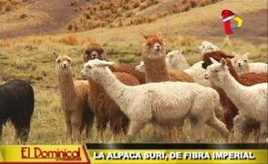 La alpaca Suri, de fibra imperial: conozca todo sobre esta adorada especie