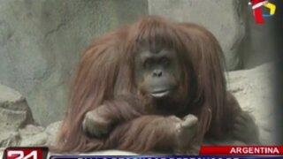 Argentina: fallo inédito reconoce los derechos básicos de orangután