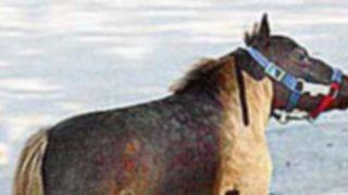 ¡Mide menos que un perro!: conoce el caballo más pequeño del mundo