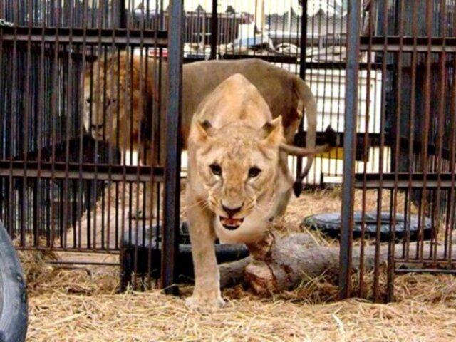 Barcelona: hombre quedó gravemente herido tras lanzarse a recinto de leones