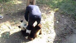 YouTube: oso panda que no quiere que lo dejen solo causa sensación en las redes