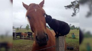 Facebook: mira la curiosa amistad entre un gato y un caballo que arrasa en las redes