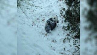 YouTube: panda que se emociona al deslizarse sobre la nieve causa sensación en las redes