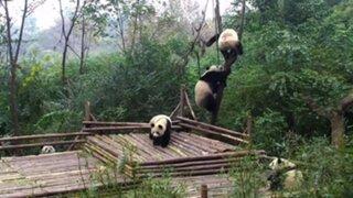 YouTube: pandas que se pelean por un árbol causan sensación en las redes sociales