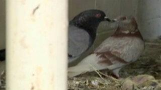Callao: palomas invaden La Perla y distrito es declarado en emergencia