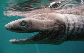 Capturan viva a extraña criatura marina prehistórica en Australia