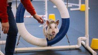 Amy, la cerdita que se cree perro participa en torneos para mascotas