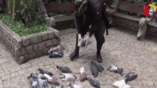 Matan a más de 50 palomas en la puerta de una catedral en Huancayo