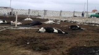 Arequipa: 27 vacas mueren envenenadas y otras 12 se salvan de morir