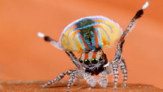 La simpática araña pavo real: la única especie de araña capaz de curar la aracnofobia por su ternura