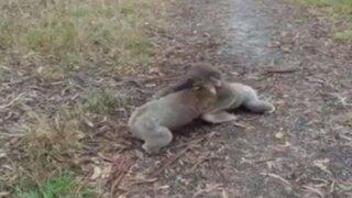 YouTube: pareja de koalas protagonizan adorable pelea en un bosque